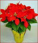 "6"" Red Silk Poinsettia Plants"